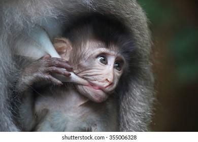 Little baby monkey breastfeeding