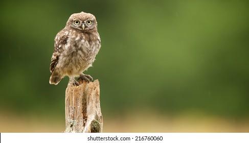 Little baby Owl on post