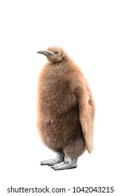 Little baby penguin with brown feathers isolated on the white background
