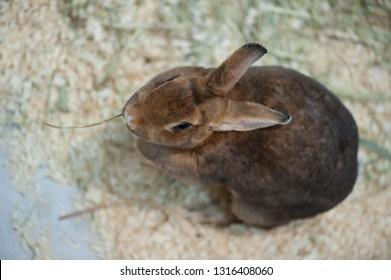 Little baby rabbit on sawdust eating vegetable