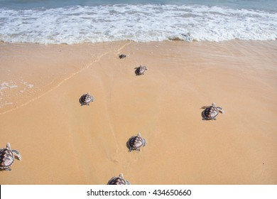 Little baby turtles on their way to the sea  Image ID:139124582