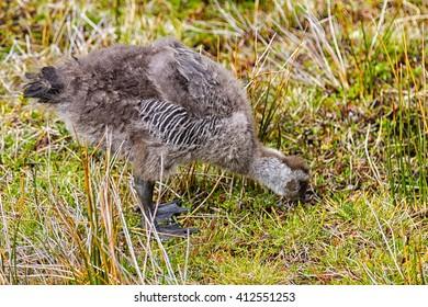 Little baby Upland Goose or Magellan Goose (Chloephaga picta). Tierra del Fuego National Park, Argentina