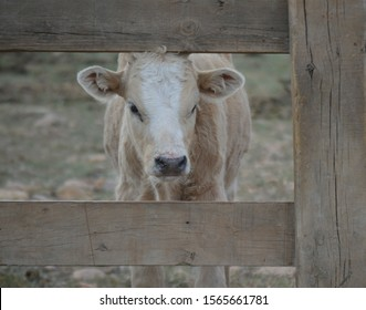 little baby of a white cow with five months