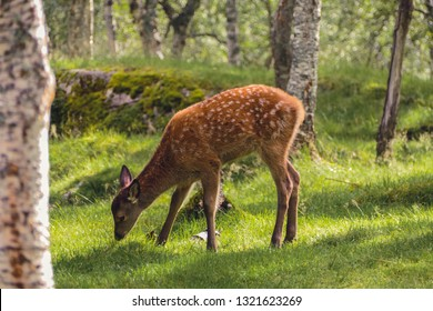 Little Bambi, red dear, young