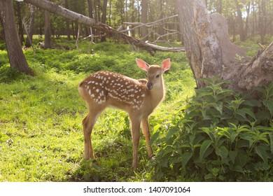 little bambi in summer  forest