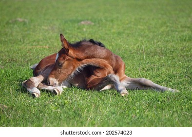 A  little   bay foal rests on a green lawn