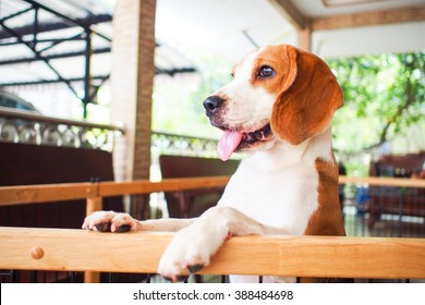 Little beagle dog standing next to the cage