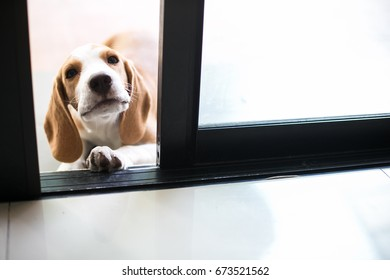 a little beagle puppy beg to get in the house at the door