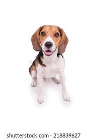 Little Beagle sitting, isolated
