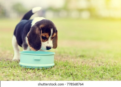 Little Beagle waiting to eat feed in dog bowl