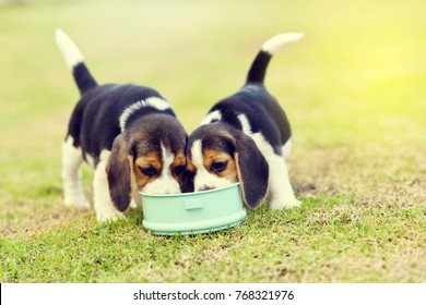 Little Beagles scramble to eat feed