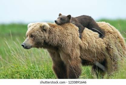 Little bear rides on the back of a big bear