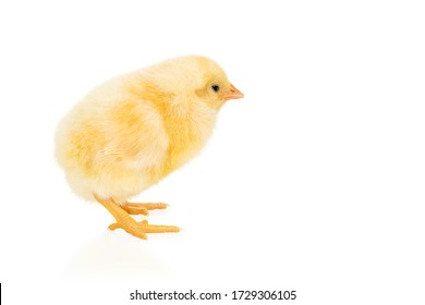 Little beautiful yellow chicken standing sideways isolated on a white background