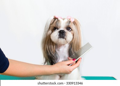 Little beauty shih-tzu dog at the groomer's hand - isolated on white