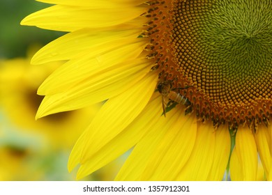 little bee feeding pollen on sunflower
