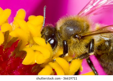 A little bee landing on a flower, collecting pollen - pink petals in the background