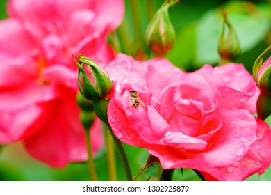 Little bee on a red purple flower in the garden with green leaves background