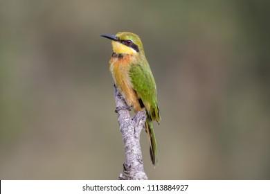 Little bee-eater (Merops pusillus) African bird