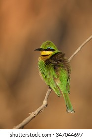 Little Bee-eater Merops pusillus  perching on branch in cold morning. Orange distant backgound. Chobe National Park,Botswana, August,