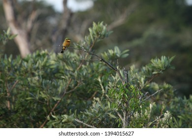 A Little Bee-eater sitting alone on a branch
