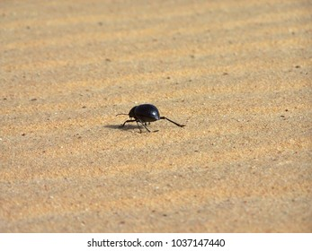 Little Beetle in the Sahara in Egypt