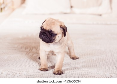 Little beige puppy pug dog standing on the bed