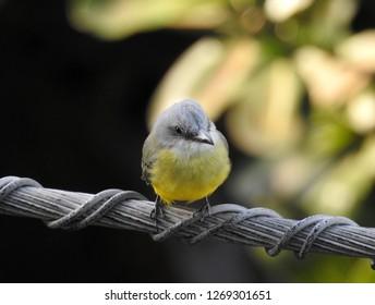 A little bird of America. Panama City, Panama