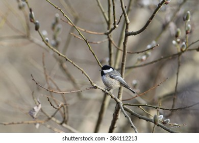 A little bird among the twigs of willow spring