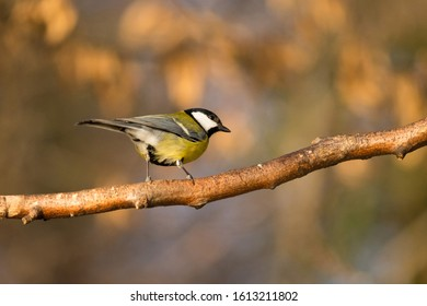 Little bird / great tit on the branch on a sunny day