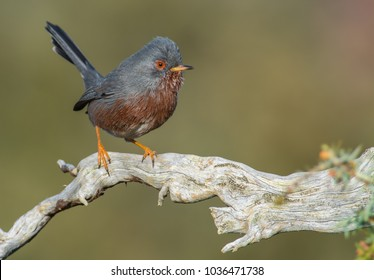 Little bird with nice colors perched on a twisted branch.Taken in a sunny day with a  bright green bakcground. Dartford warbler (Silvia undata)