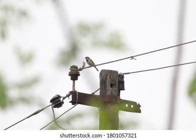 Little bird on electric wire, Chennai, Tamil Nadu, India.