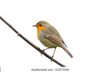 little bird Robin sitting in the Park  on a white isolated background