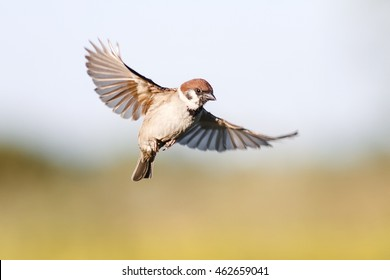 little bird Sparrow flutters in the sky in the summer