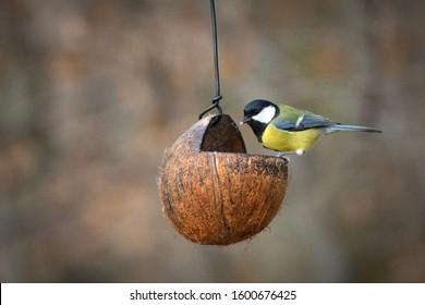 Little bird / tit standing on the coconut feeder