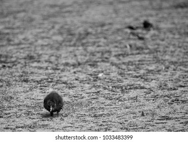 A little bird is walking through dirty water.