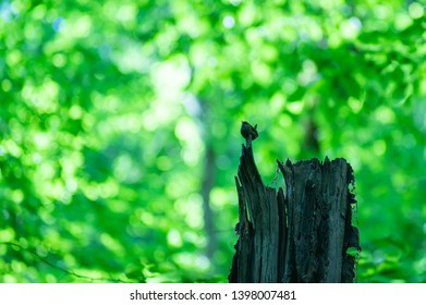 The little birdie sings on an old dark snag in the solar wood. Around bright greens of the spring wood. A summer card, free space for the text
