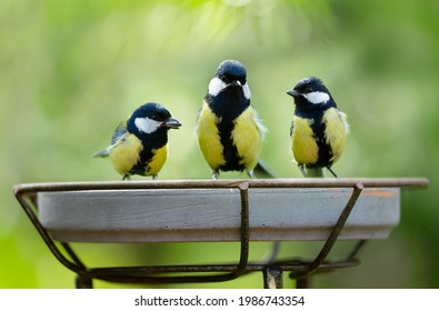 Little birds sitting on a feeder. Great Tit (Parus major). Summer time
