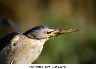 The little bittern or common little bittern (Ixobrychus minutus), portait od the water bird.