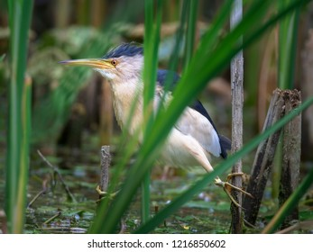 The little bittern or common little bittern (Ixobrychus minutus). A small water bird with long legs sitting on a reed. Spring life on the lake.