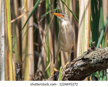 The little bittern or common little bittern (Ixobrychus minutus). Spring scene of a wild bird in its natural habitat.