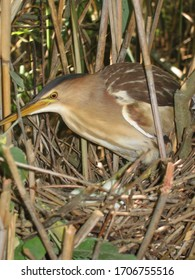 Little bittern or common little bittern (Ixobrychus minutus) in nesting period