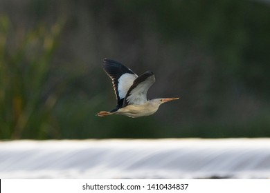 A little bittern flying over a river with green vegetation and water in the background.