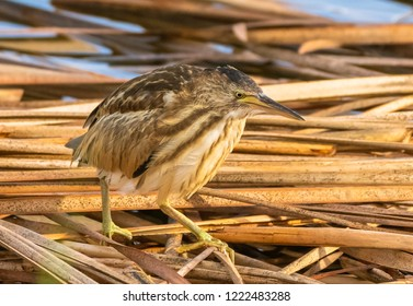 Little Bittern Hunting for food