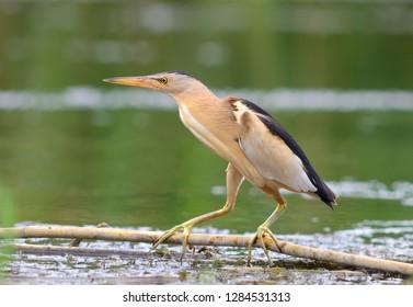 Little Bittern - Ixobrychus minutus