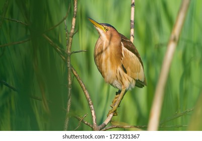 Little Bittern, Ixobrychus minutus. The female sits on a tree branch near the river