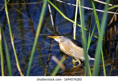 Little Bittern - Ixobrychus minutus hunting environment
