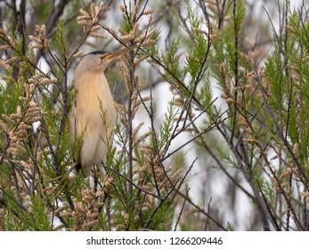 Little bittern (Ixobrychus minutus) Malaga, Spain