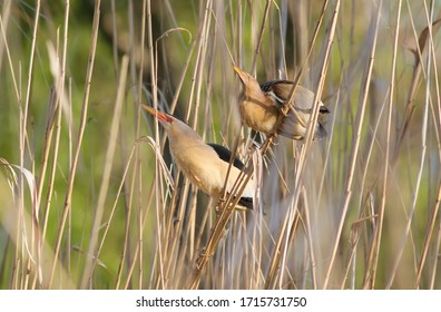 Little Bittern, Ixobrychus minutus. Male and female birds are sitting on the cane stalks