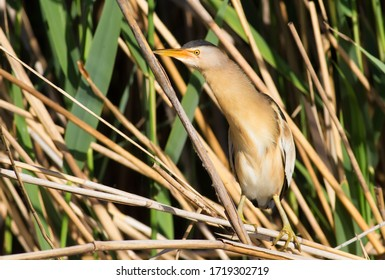 Little Bittern, Ixobrychus minutus. The male bird is sitting in the reeds on the river bank.