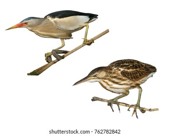 Little bittern (Ixobrychus minutus) male and female isolated on white background.